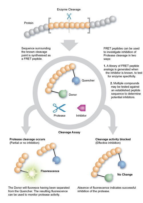Protease assay using FRET peptides